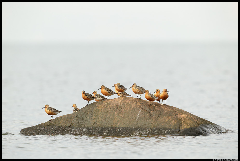 Suurrisla, Red Knot, Calidris canutus suurrüdi linnud meri hiiumaa kõpu Remo Savisaar Eesti loodus Estonian Estonia Baltic nature wildlife photography photo blog loodusfotod loodusfoto looduspilt looduspildid landscape nature wild wildlife nordic