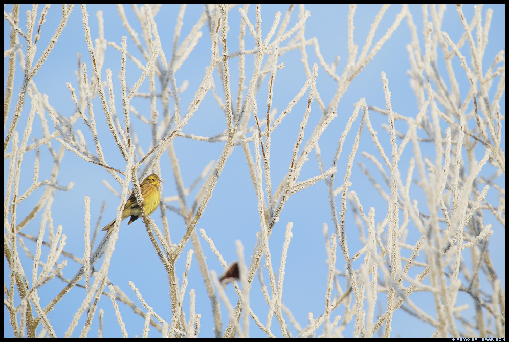 Talvike, Yellowhammer, Emberiza citrinella Remo Savisaar Eesti loodus  Estonian Estonia Baltic nature wildlife photography photo blog loodusfotod loodusfoto looduspilt looduspildid