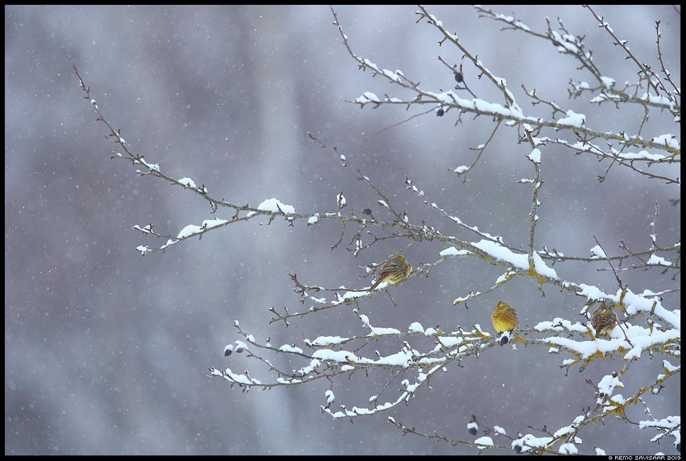 Talvike, Yellowhammer, Emberiza citrinella lumesadu snowfall Remo Savisaar Eesti loodus Estonian Estonia Baltic nature wildlife photography photo blog loodusfotod loodusfoto looduspilt looduspildid