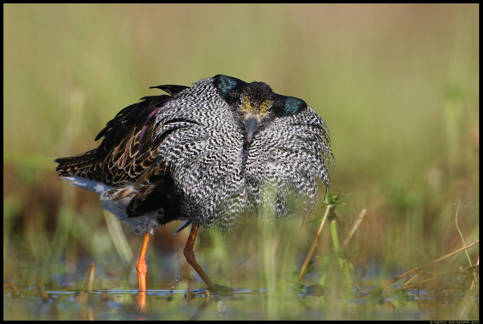 Tutkas, Ruff, Philomachus pugnax  Remo Savisaar Eesti loodus  Estonian Estonia Baltic nature wildlife photography photo blog loodusfotod loodusfoto looduspilt looduspildid