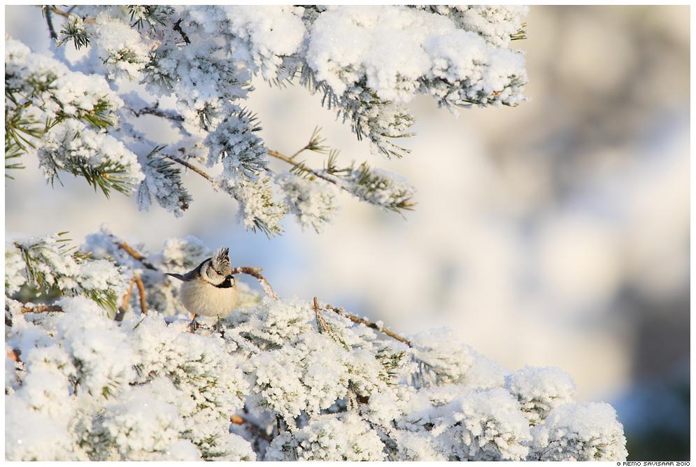 Tutt-tihane, Crested Tit , Parus cristatus, talv, winter, lumi, snow, snowy, mänd, härmatis, härmas, frost, frosty