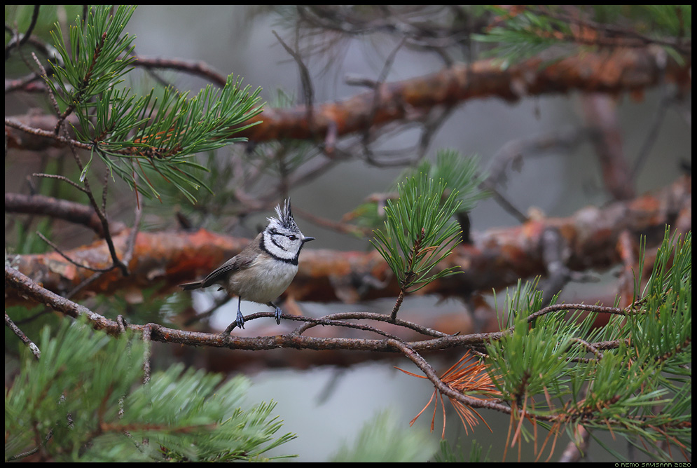 Tutt-tihane, Crested Tit , Parus cristatus männimets mänd männik pine forest Remo Savisaar Eesti loodus Estonian Estonia Baltic nature wildlife photography photo blog loodusfotod loodusfoto looduspilt looduspildid