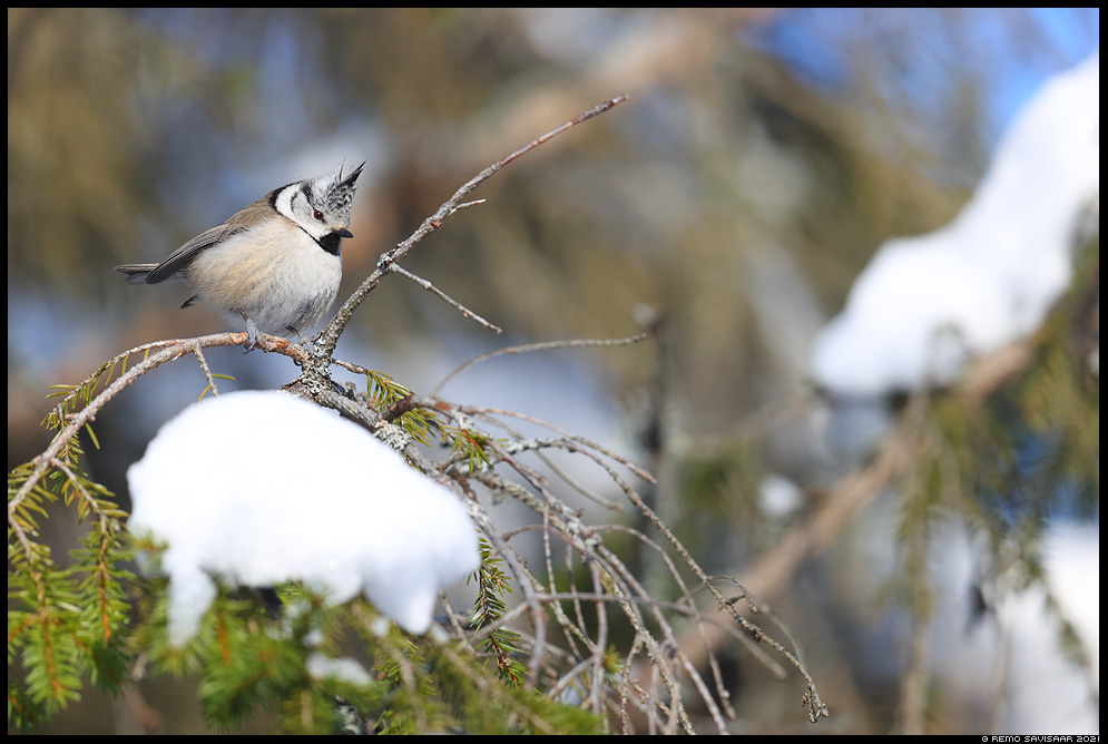 Tutt-tihane, Crested Tit, Parus cristatus alam-pedja looduskaitseala Remo Savisaar Eesti loodus Estonian Estonia Baltic nature wildlife photography photo blog loodusfotod loodusfoto looduspilt looduspildid