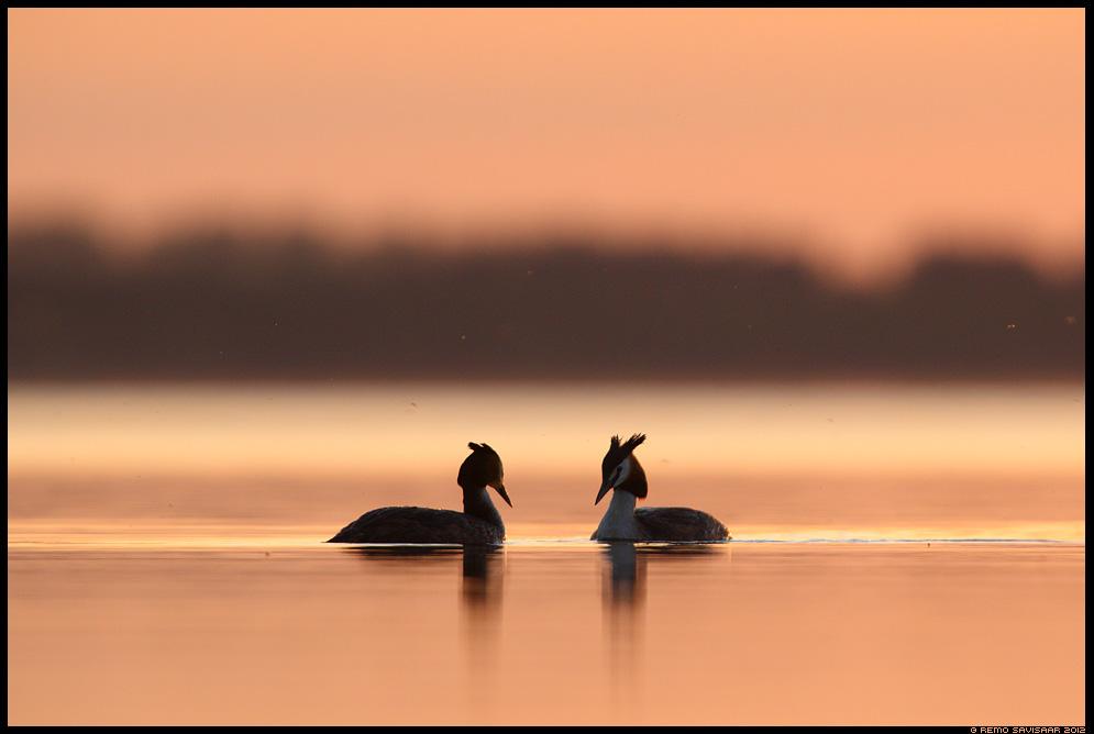 Tuttpütt, Great Crested Grebe, Podiceps cristatus, kevad, spring, armastus, järv, järvel, päikeseloojang, lake, sunset