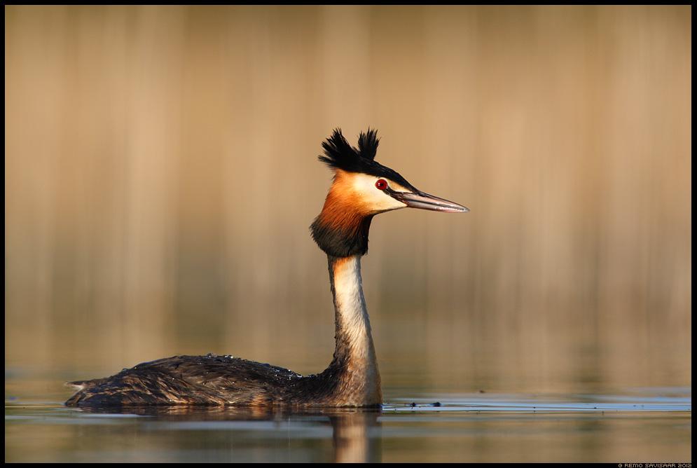 Tuttpütt, Great Crested Grebe, Podiceps cristatus, kevad, spring, järv, järvel, lake
