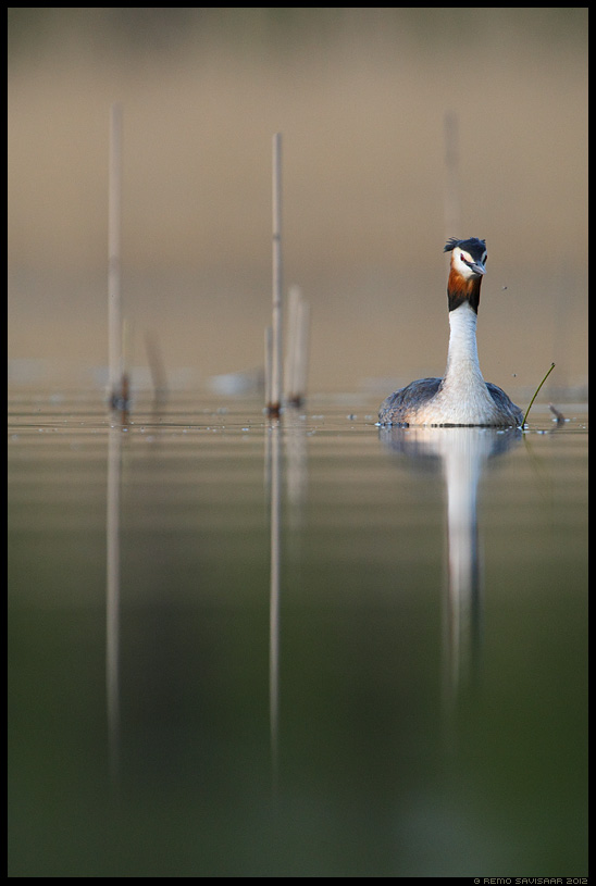 Tuttpütt, Great Crested Grebe, Podiceps cristatus