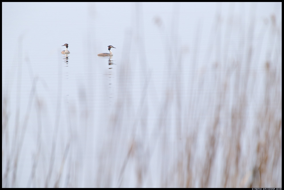 Tuttpütt, Great Crested Grebe, Podiceps cristatus minimalism minimalistic järv lake kevad spring Remo Savisaar Eesti loodus  Estonian Estonia Baltic nature wildlife photography photo blog loodusfotod loodusfoto looduspilt looduspildid
