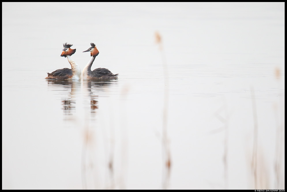 Tuttpütt, Great Crested Grebe, Podiceps cristatus Remo Savisaar Eesti loodus Estonian Estonia Baltic nature wildlife photography photo blog loodusfotod loodusfoto looduspilt looduspildid
