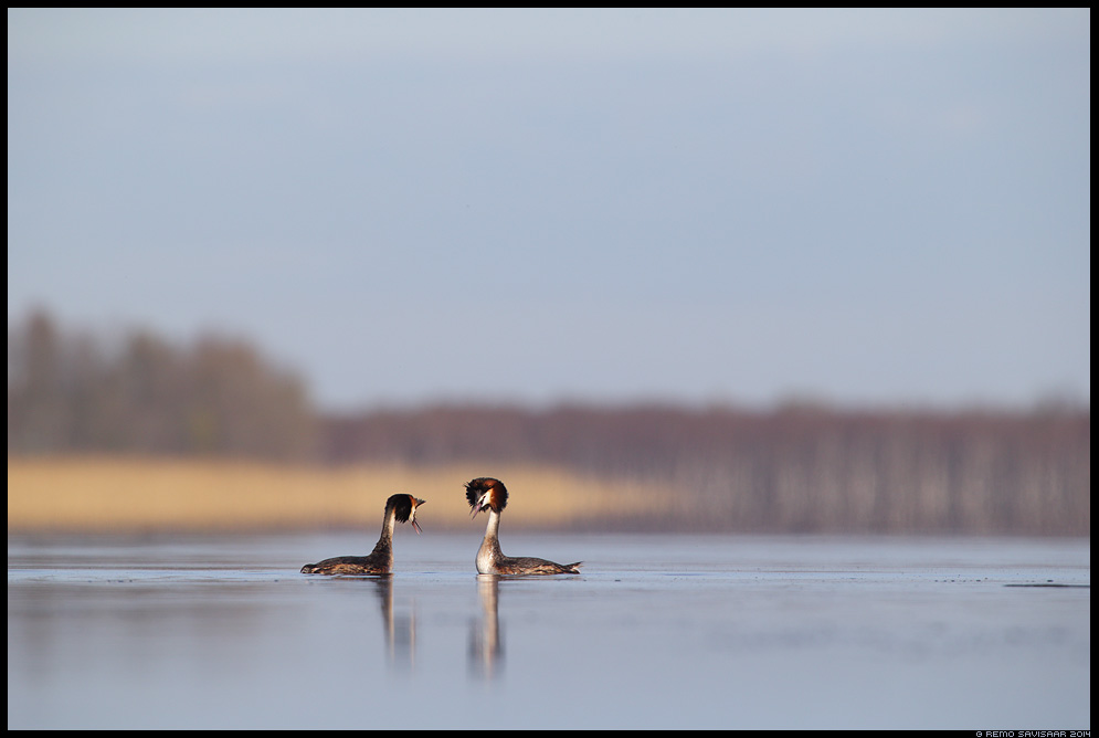 Tuttpütt, Great Crested Grebe, Podiceps cristatus kevad järv lake spring Remo Savisaar Eesti loodus Estonian Estonia Baltic nature wildlife photography photo blog loodusfotod loodusfoto looduspilt looduspildid