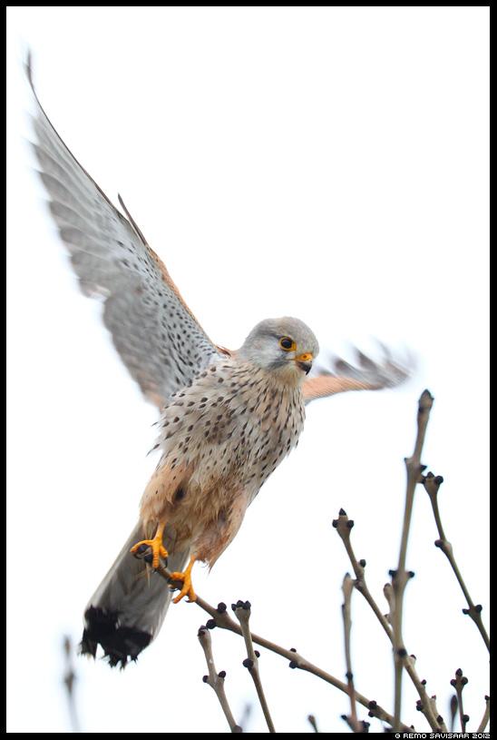 Tuuletallaja, Common kestrel, Falco tinnunculus