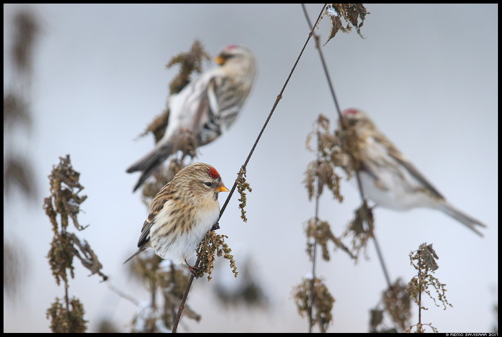 Urvalind, Redpoll, Carduelis flammea Remo Savisaar Eesti loodus Estonian Estonia Baltic nature wildlife photography photo blog loodusfotod loodusfoto looduspilt looduspildid landscape nature wild wildlife nordic