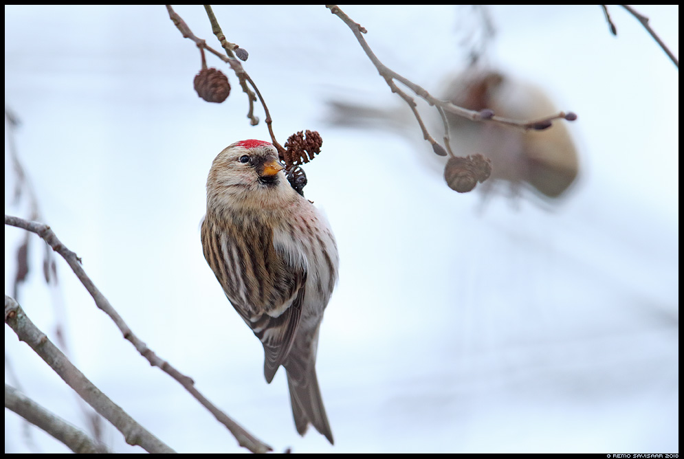 Urvalind, Redpoll, Carduelis flammea Remo Savisaar Eesti loodus Estonian Estonia Baltic nature wildlife photography photo blog loodusfotod loodusfoto looduspilt looduspildid