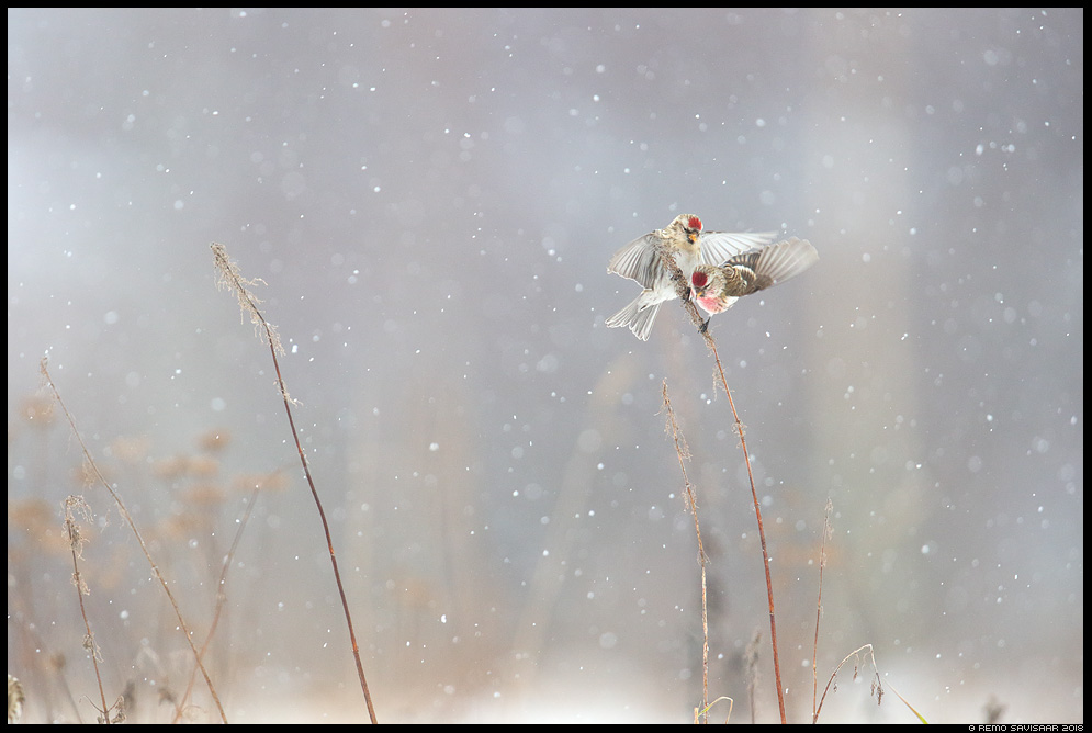 Urvalind, Redpoll, Carduelis flammea lumesadu snowfall Remo Savisaar Eesti loodus Estonian Estonia Baltic nature wildlife photography photo blog loodusfotod loodusfoto looduspilt looduspildid