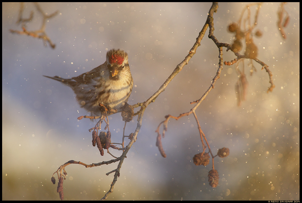Urvalind, Redpoll, Carduelis flammea talv talvine Remo Savisaar Eesti loodus  Estonian Estonia Baltic nature wildlife photography photo blog loodusfotod loodusfoto looduspilt looduspildid