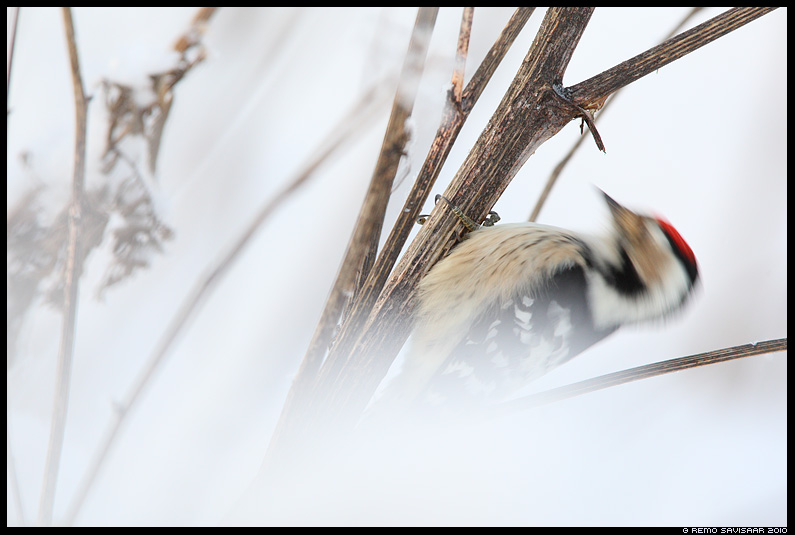 Väike-kirjurähn, Lesser Spotted Woodpecker, Dendrocopos minor