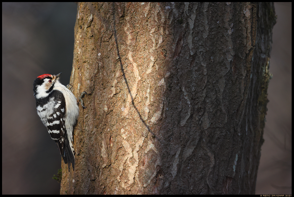 Väike-kirjurähn, Lesser Spotted Woodpecker, Dendrocopos minor  Remo Savisaar Eesti loodus Estonian Estonia Baltic nature wildlife photography photo blog loodusfotod loodusfoto looduspilt looduspildid landscape nature wild wildlife nordic