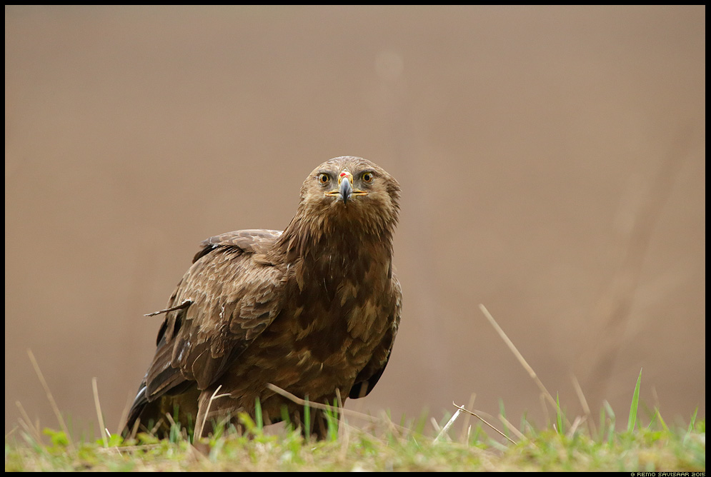 Väike-konnakotkas, Lesser Spotted Eagle, Aquila pomarina  Remo Savisaar Eesti loodus  Estonian Estonia Baltic nature wildlife photography photo blog loodusfotod loodusfoto looduspilt looduspildid