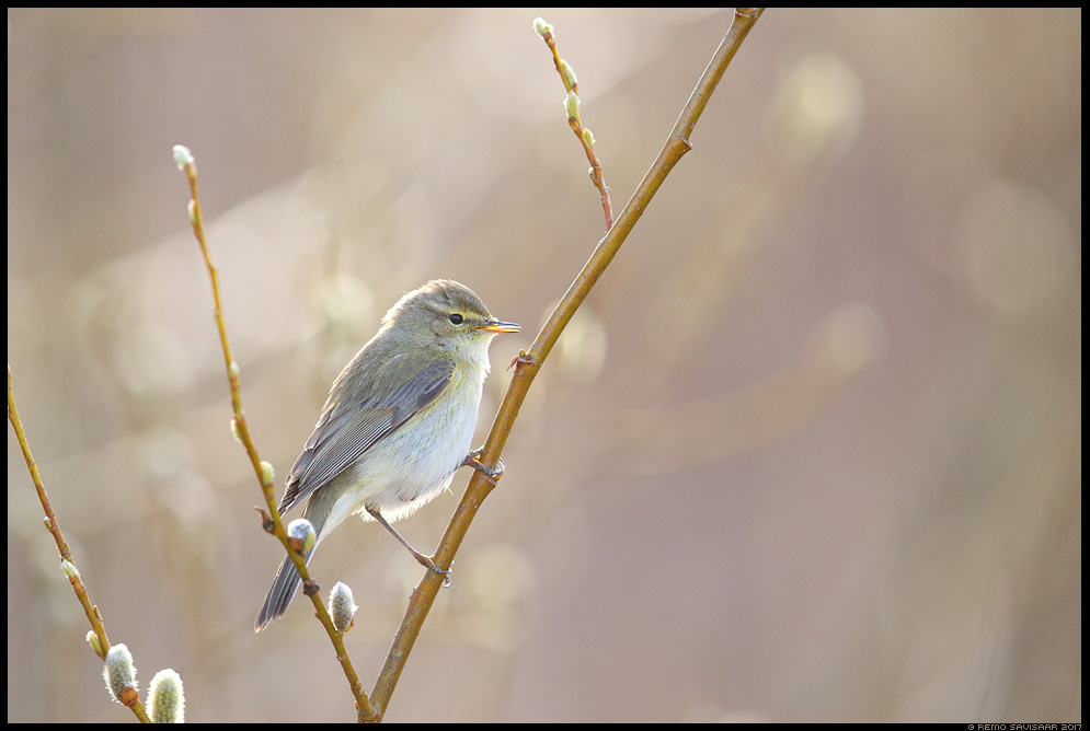Väike-lehelind, Chiffchaff, Phylloscopus collybita  Remo Savisaar Eesti loodus  Estonian Estonia Baltic nature wildlife photography photo blog loodusfotod loodusfoto looduspilt looduspildid