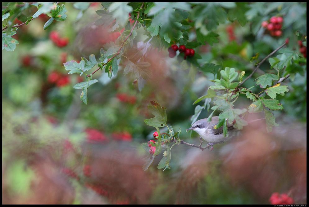 Väike-põõsalind, Lesser Whitethroat, Sylvia curruca, Remo Savisaar Eesti loodus Estonian Estonia Baltic nature wildlife photography photo blog loodusfotod loodusfoto looduspilt looduspildid