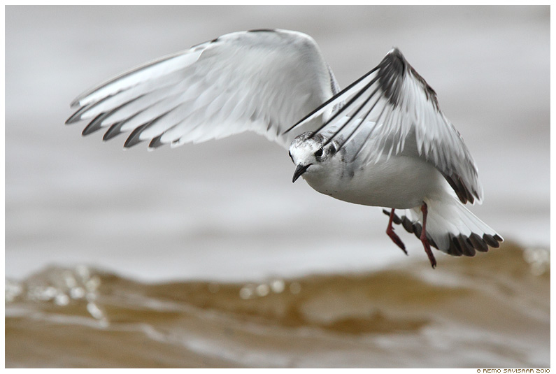 Väikekajakas, Little Gull, Larus minutus