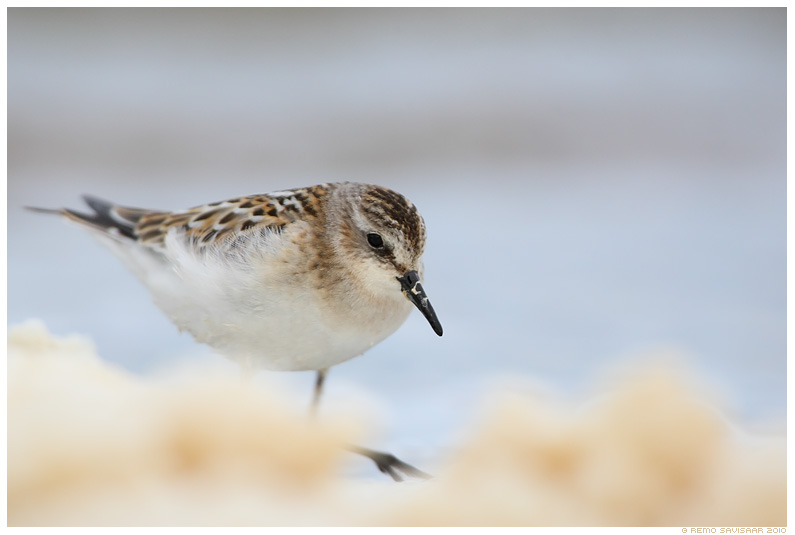 Väikerisla, Little Stint, Calidris minuta