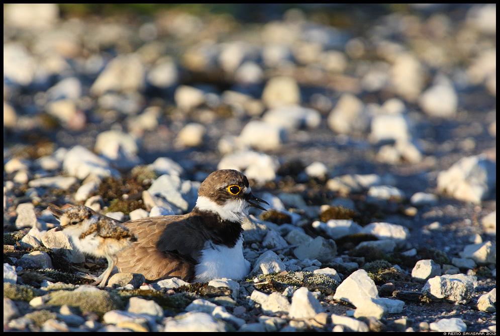 Väiketüll, Little Ringed Plover, Charadrius dubius