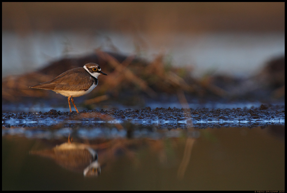 Väiketüll, Little Ringed Plover, Charadrius dubius vesi veekogu Remo Savisaar Eesti loodus  Estonian Estonia Baltic nature wildlife photography photo blog loodusfotod loodusfoto looduspilt looduspildid