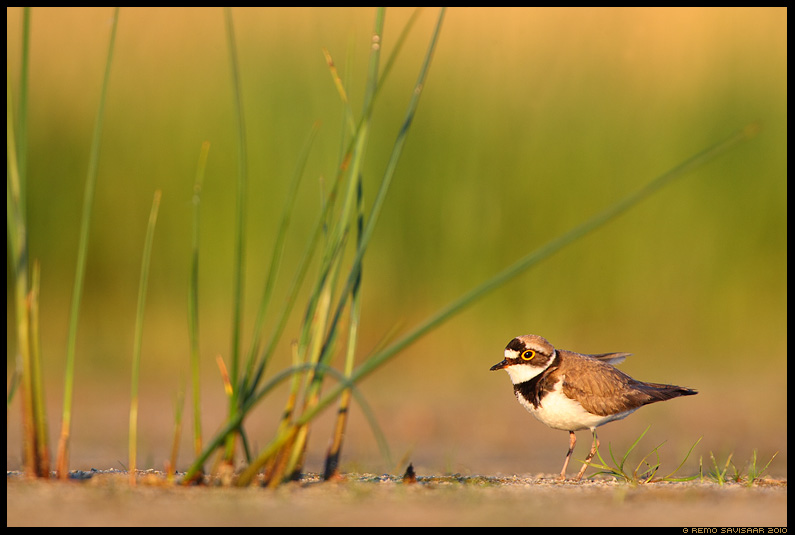 Viketll, Little Ringed Plover, Charadrius dubius 