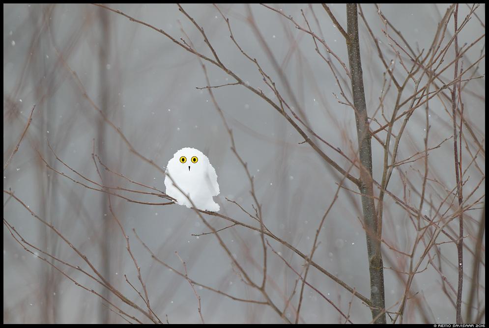 Värb lume kakk, Pygmy Snowy Owl Remo Savisaar Eesti loodus  Estonian Estonia Baltic nature wildlife photography photo blog loodusfotod loodusfoto looduspilt looduspildid
