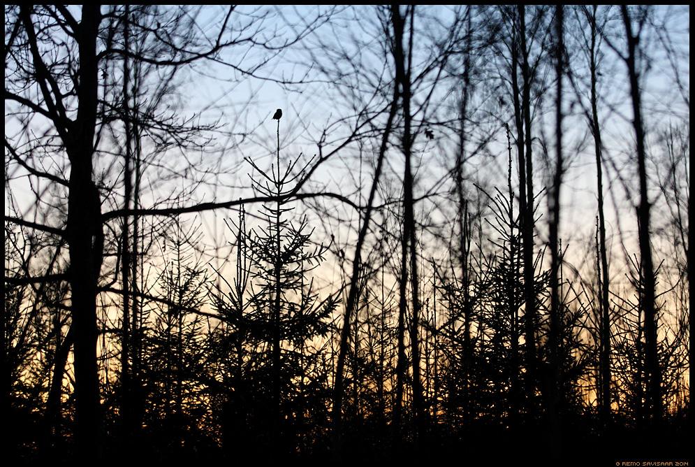 Värbkakk, Pygmy Owl, Glaucidium passerinum hämar gloomy hämarus mets forest dark Remo Savisaar Eesti loodus  Estonian Estonia Baltic nature wildlife photography photo blog loodusfotod loodusfoto looduspilt looduspildid