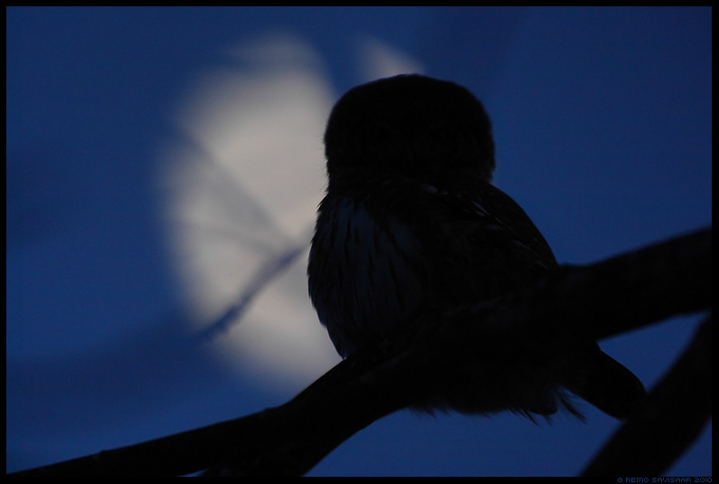 Värbkakk, Pygmy Owl, Glaucidium passerinum, öö, night, kuu, hämar