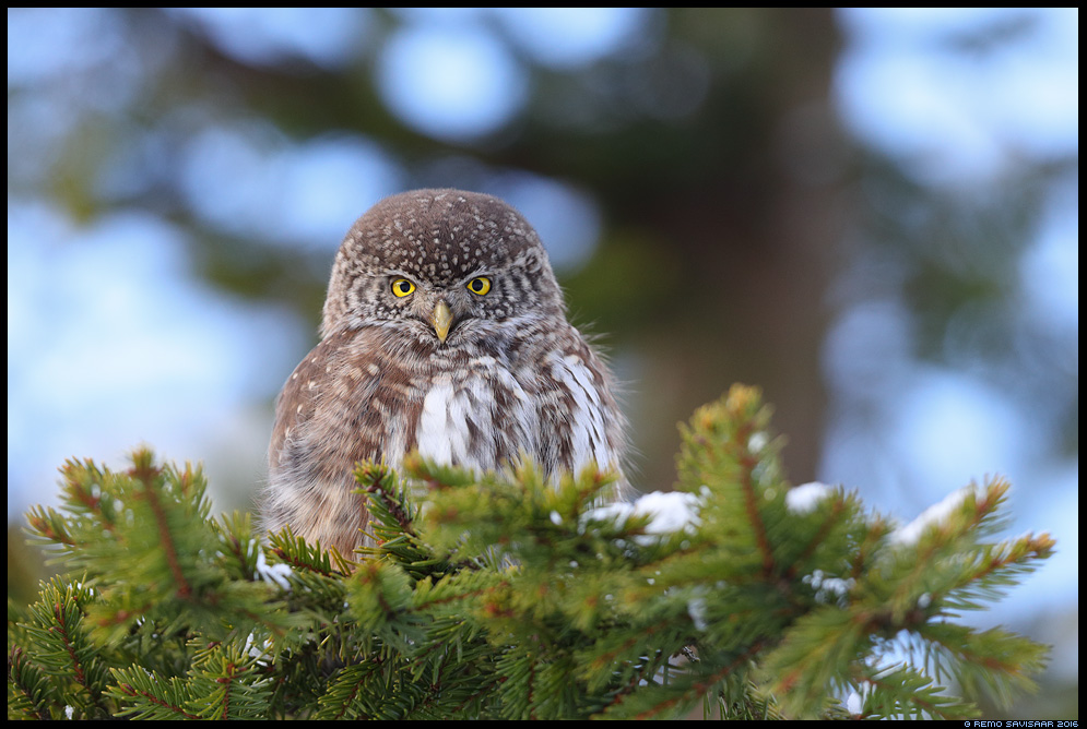 Värbkakk, Pygmy Owl, Glaucidium passerinum Remo Savisaar Eesti loodus  Estonian Estonia Baltic nature wildlife photography photo blog loodusfotod loodusfoto looduspilt looduspildid