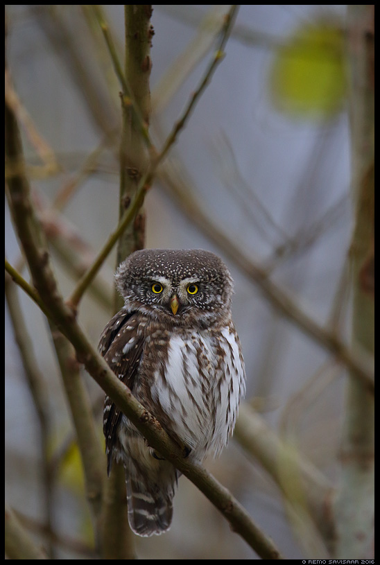 Värbkakk, Pygmy Owl, Glaucidium passerinum põlismets kuusik boreal forest Remo Savisaar Eesti loodus Estonian Estonia Baltic nature wildlife photography photo blog loodusfotod loodusfoto looduspilt looduspildid landscape nature wild wildlife nordic