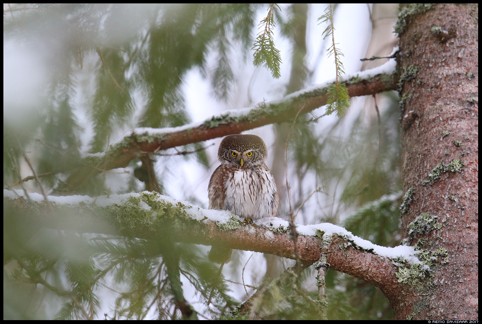 Värbkakk, Pygmy Owl, Glaucidium passerinum mets forest Remo Savisaar Eesti loodus Estonian Estonia Baltic nature wildlife photography photo blog loodusfotod loodusfoto looduspilt looduspildid landscape nature wild wildlife nordic