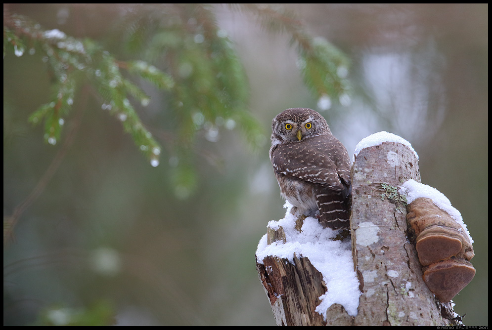 Värbkakk, Pygmy Owl, Glaucidium passerinum mets forest puuseen tüügas Remo Savisaar Eesti loodus Estonian Estonia Baltic nature wildlife photography photo blog loodusfotod loodusfoto looduspilt looduspildid landscape nature wild wildlife nordic