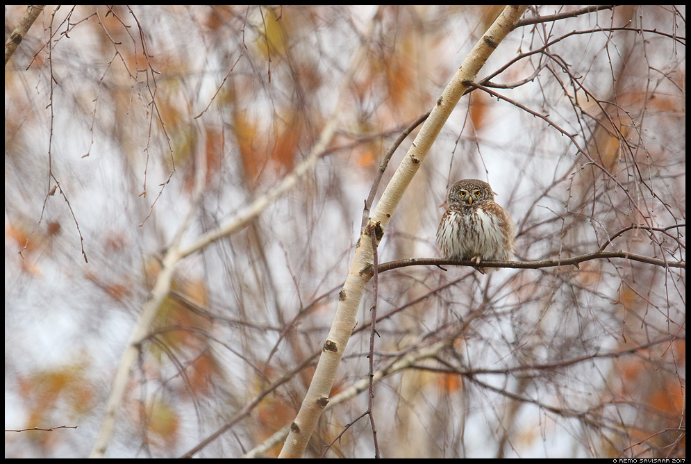 Värbkakk, Pygmy Owl, Glaucidium passerinum sügis autumn kask birch Remo Savisaar Eesti loodus Estonian Estonia Baltic nature wildlife photography photo blog loodusfotod loodusfoto looduspilt looduspildid landscape nature wild wildlife nordic