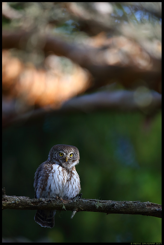 Värbkakk, Pygmy Owl, Glaucidium passerinum mets forest alam-pedja looduskaitseala Remo Savisaar Eesti loodus Estonian Estonia Baltic nature wildlife photography photo blog loodusfotod loodusfoto looduspilt looduspildid landscape nature wild wildlife nordic