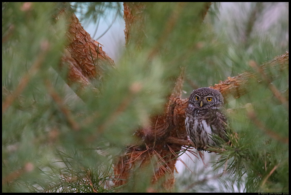 Värbkakk, Pygmy Owl, Glaucidium passerinum mänd männipuu pine pinus Remo Savisaar Eesti loodus Estonian Estonia Baltic nature wildlife photography photo blog loodusfotod loodusfoto looduspilt looduspildid