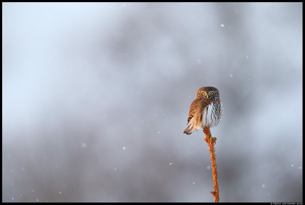 Värbkakk, Pygmy Owl, Glaucidium passerinum lumesadu snowfall Remo Savisaar Eesti loodus Estonian Estonia Baltic nature wildlife photography photo blog loodusfotod loodusfoto looduspilt looduspildid landscape nature wild wildlife nordic