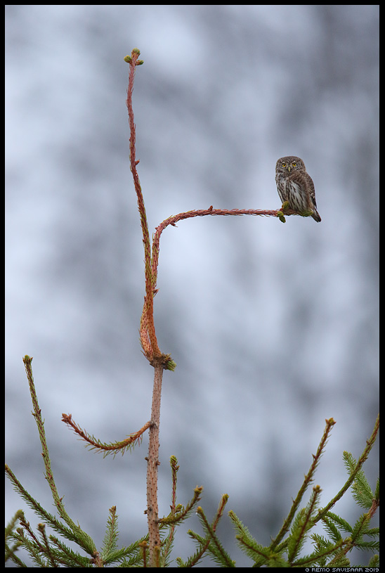 Värbkakk, Pygmy Owl, Glaucidium passerinum kuusk spruce fir tree Remo Savisaar Eesti loodus Estonian Estonia Baltic nature wildlife photography photo blog loodusfotod loodusfoto looduspilt looduspildid landscape nature wild wildlife nordic