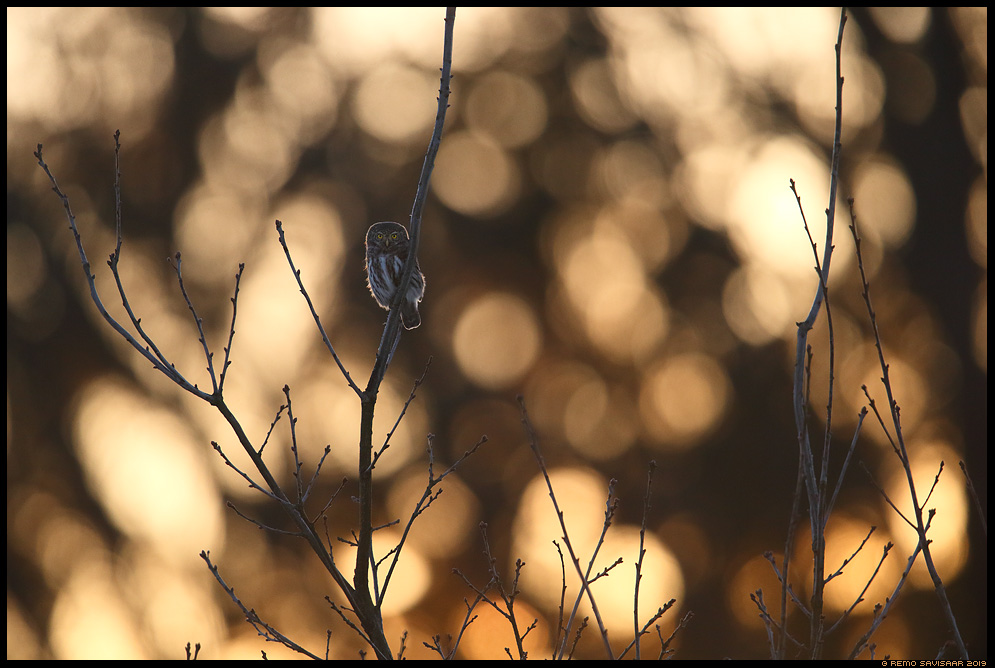 Värbkakk, Pygmy Owl, Glaucidium passerinum kuldne golden päikeseloojang sunset  Remo Savisaar Eesti loodus Estonian Estonia Baltic nature wildlife photography photo blog loodusfotod loodusfoto looduspilt looduspildid landscape nature wild wildlife nordic