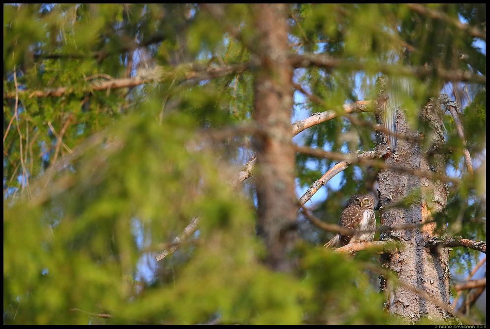 Värbkakk, Pygmy Owl, Glaucidium passerinum põlismets kuusik boreal forest Remo Savisaar Eesti loodus Estonian Estonia Baltic nature wildlife photography photo blog loodusfotod loodusfoto looduspilt looduspildid landscape nature wild wildlife nordic