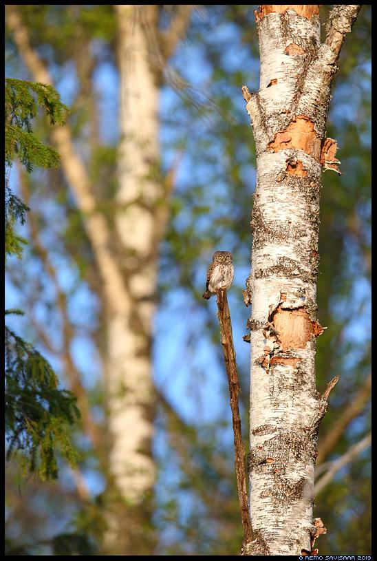 Värbkakk, Pygmy Owl, Glaucidium passerinum Remo Savisaar Eesti loodus Estonian Estonia Baltic nature wildlife photography photo blog loodusfotod loodusfoto looduspilt looduspildid landscape nature wild wildlife nordic