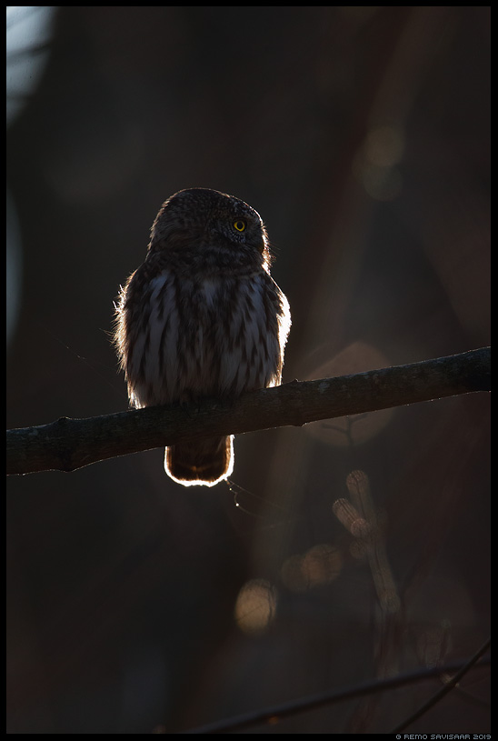 Värbkakk, Pygmy Owl, Glaucidium passerinum kontra contra siluett hämar Remo Savisaar Eesti loodus Estonian Estonia Baltic nature wildlife photography photo blog loodusfotod loodusfoto looduspilt looduspildid landscape nature wild wildlife nordic