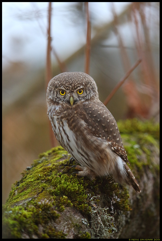 Värbkakk, Pygmy Owl, Glaucidium passerinum Remo Savisaar Eesti loodus Estonian Estonia Baltic nature wildlife photography photo blog loodusfotod loodusfoto looduspilt looduspildid landscape nature wild wildlife nordic