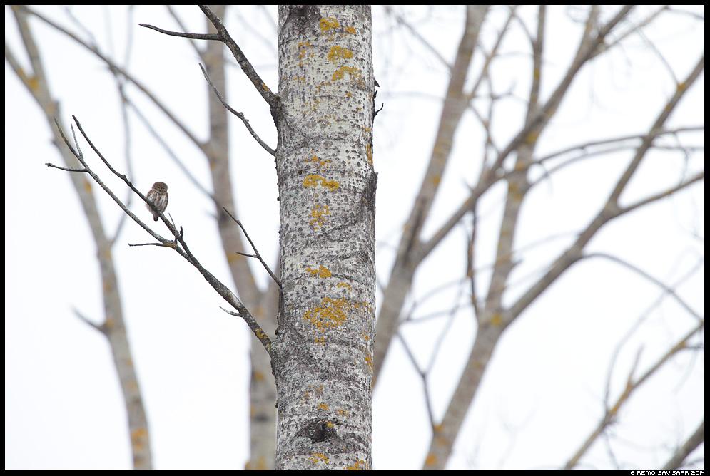 Värbkakk, Pygmy Owl, Glaucidium passerinum Remo Savisaar Eesti loodus  Estonian Estonia Baltic nature wildlife photography photo blog loodusfotod loodusfoto looduspilt looduspildid
