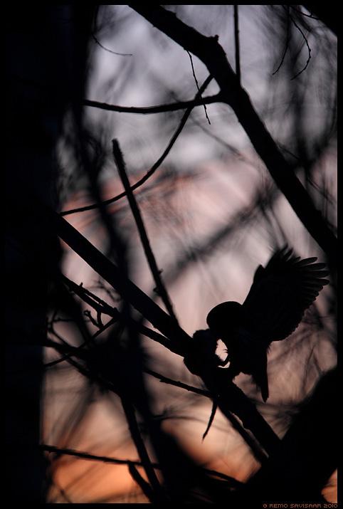 Värbkakk, Pygmy Owl, Glaucidium passerinum