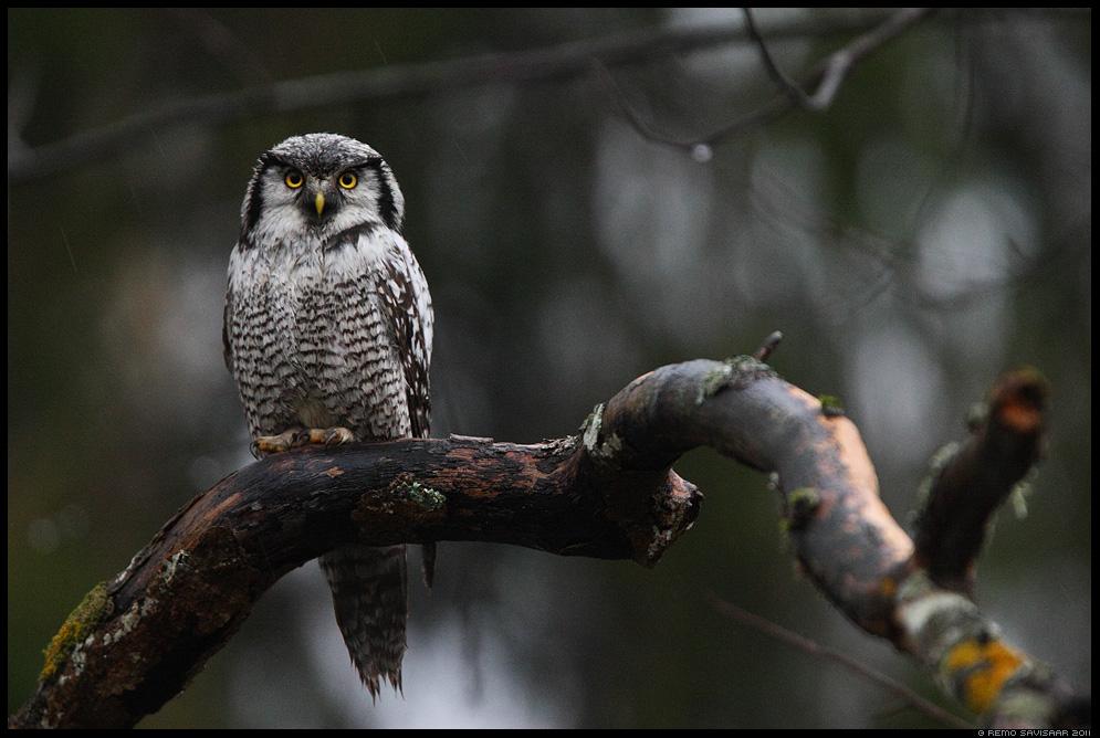 Vöötkakk, Hawk Owl, Surnia ulula, hämar, märg, öökull