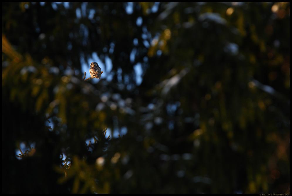 Vöötkakk, Hawk Owl, Surnia ulula, talikülaline Alutaguse rahvuspark, Alutaguse National Park