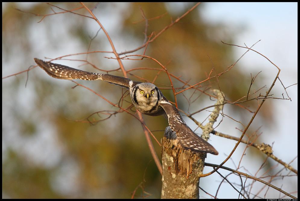 Vöötkakk, Hawk Owl, Surnia ulula